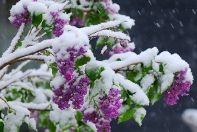 lilac in snow